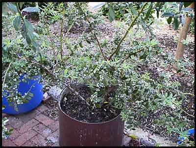 Blueberry Plants Growing In Pots Berries Just Beginning To Ripen