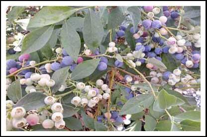 Growingbluberries